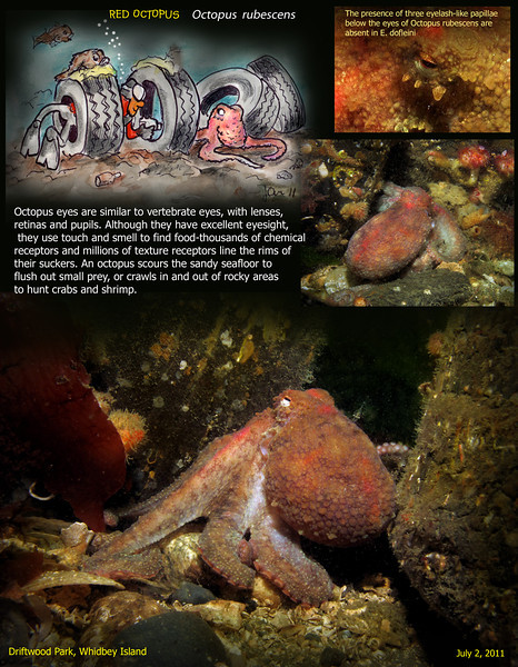 RED OCTOPUS	( Octopus  rubescens ). Driftwood Park, Whidbey Island. July 2, 2011