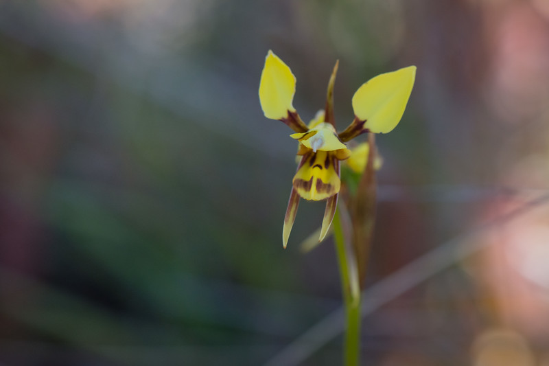 So much exam studying, but we ducked into WFP for a quick orchid look on the way home.  Diuris... yep, can't decide which species..  Waverly Flora Park  9th November 2017  © Fiona Gumboots  - All images are copyright and not to be reproduced, distributed, published, altered, manipulated or used without my permission.  Sharing via the 'share' button on facebook is more than welcome.  http://thegumbootchronicles.com/
