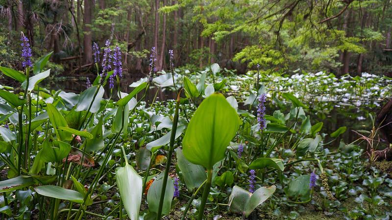 Purple pickerelweed blooms