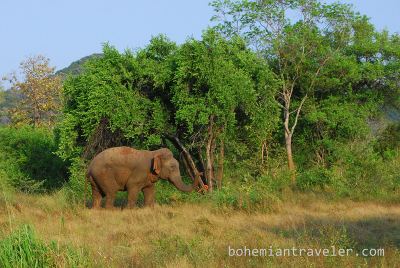 elephant in Habarana Eco Park (5).jpg