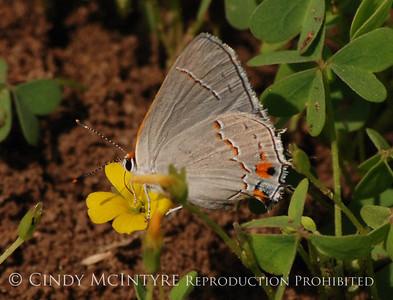 Butterflies-Choke Canyon TX