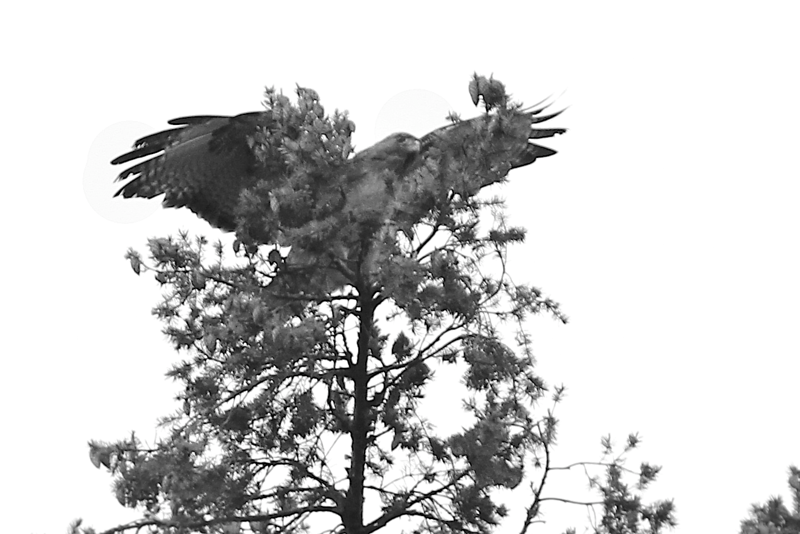 May 26 2012   ONe of the parents returning to the nest which is just below the frame