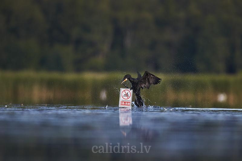 Jūras krauklis / Great Cormorant