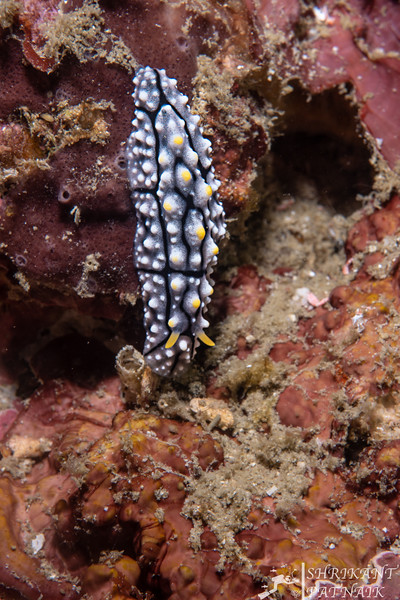 Bumpy Paradoris Nudibranch