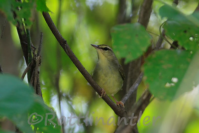 Swainson's Warblers