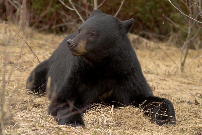 Black Bear, Jasper AB