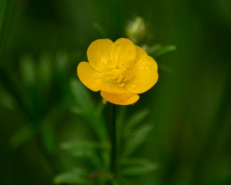 1 Buttercup.jpg