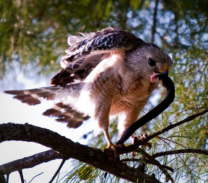 Red Shoulder Hawk with Snake
