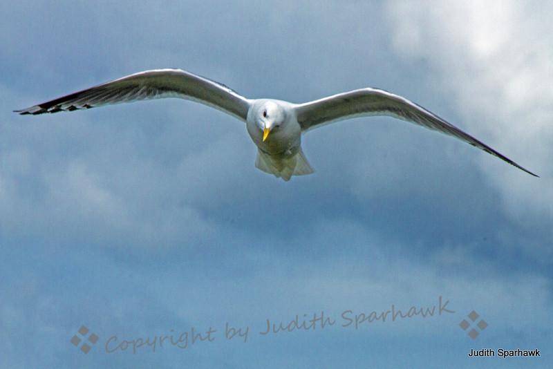 Mew Gul flying2.jpg
