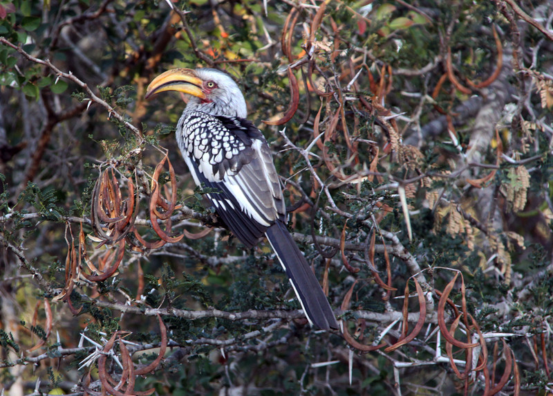 YELLOW BILLED HORNBILL - SOUTH AFRICA