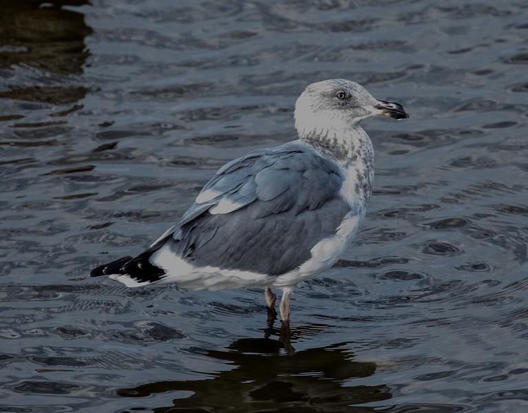Herring Gull  San Luis Rey Oceanside 2016 10 28-1.CR2