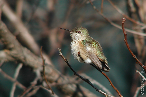 Calliope Hummingbird, Manhattan 2002