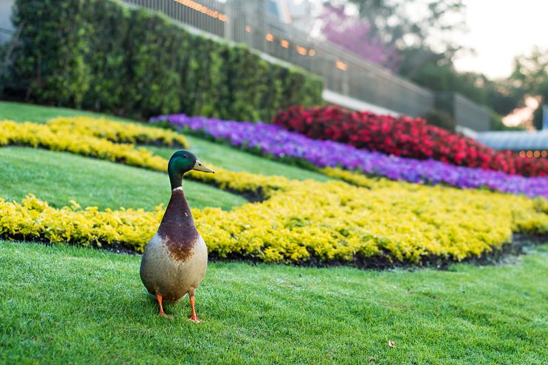 Happiest Duck on Earth - Magic Kingdom Walt Disney World