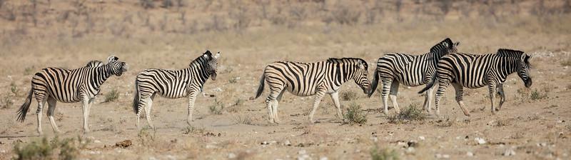 Burchell's Zebra (sub-species of Plains Zebra)