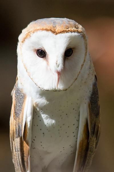 Barn Owl Vermont 2019-2.jpg