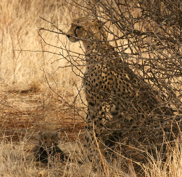 Our Samburu cheetah sighting - not so great as she was hiding behind the bushes with her cubs.
