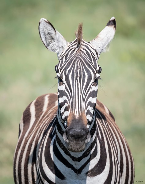 Zebra (most likely pregnant)