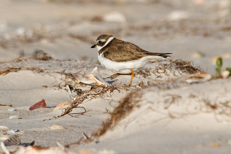 Plover - Semi-palmated - St. George Island State Park, FL
