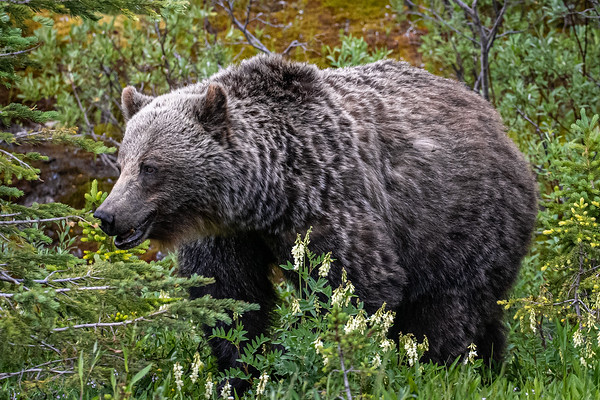 7-28-20 Grizzly Bears & Cubs In the Berry Patch