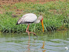 Yellow Billed Stork 2