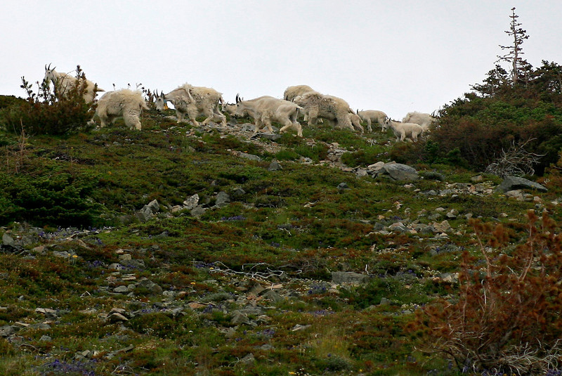 In a hike near Sunrise,  I came across a decent sized herd of mountain goats - more than 20, with several kids.