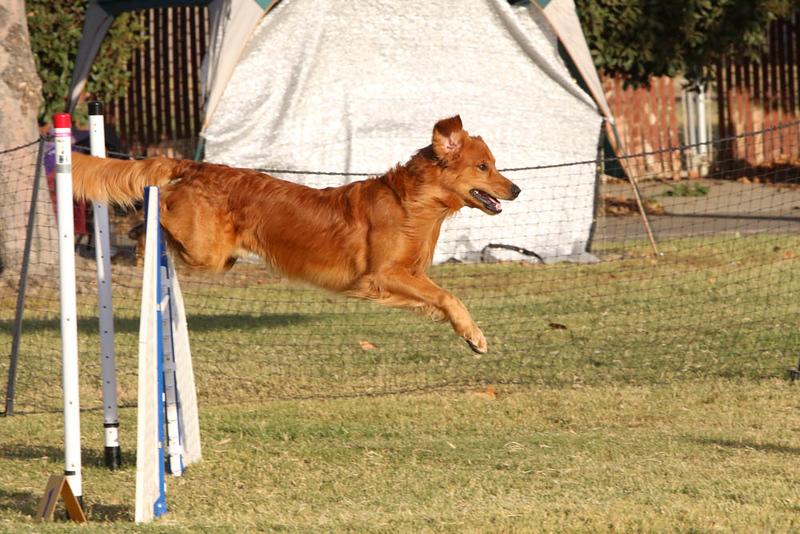 11-4-2018 Border Terrier-2665.jpg