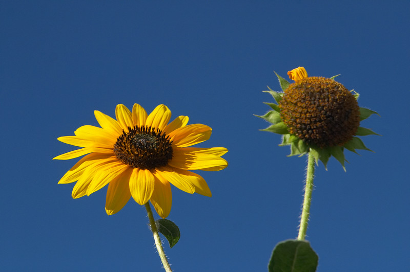 Conveniently, there are pretty sunflowers growing on the side of the road too