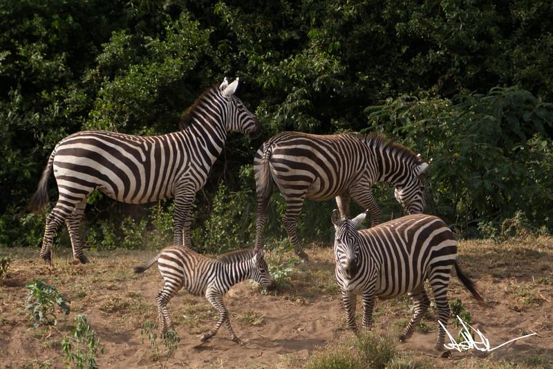 ZebraS-41.jpg