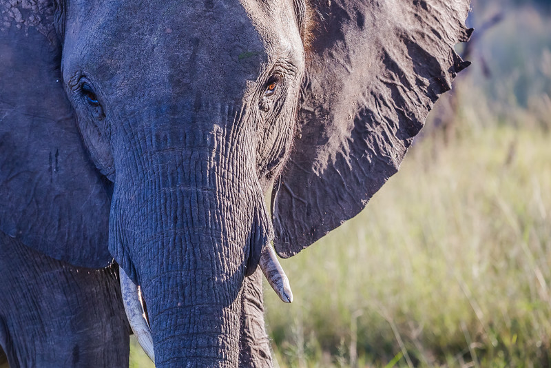 Wild Elephant in South Africa - best places to visit in September