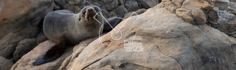 New Zealand fur seal cub active during a cloudy sunrise at Shag Point, New Zealand