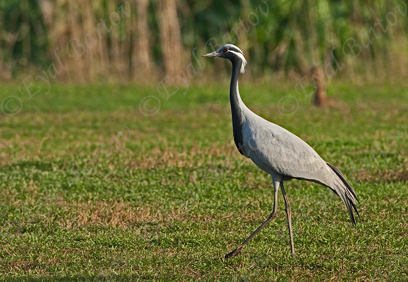 demoiselle crane (Anthropoides virgo)- עגור חן