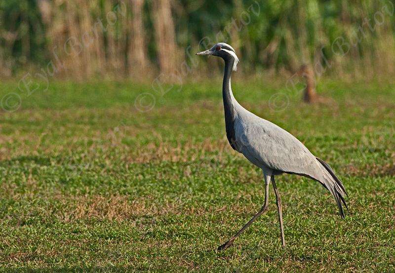 demoiselle crane (Anthropoides virgo)- עגור חן