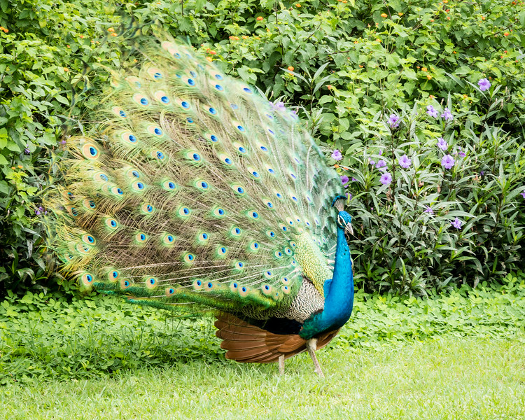 A turquoise peacock spreads his tail.