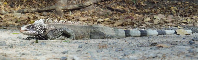Iguana_P3281655_planarstitch.jpg