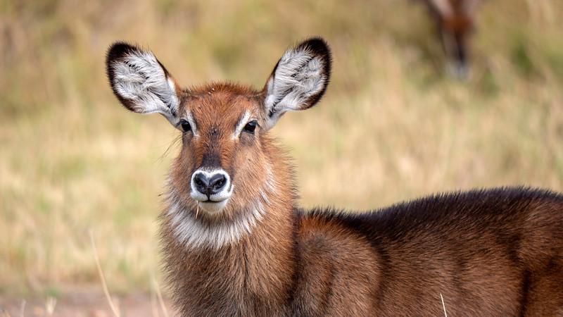 Tanzania-Serengeti-National-Park-Safari-Waterbuck-01.jpg