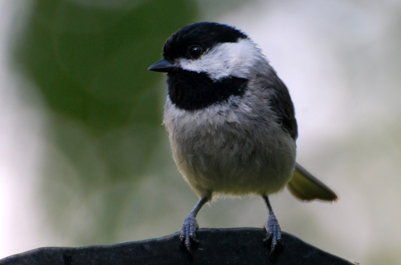 chickadee pole.jpg