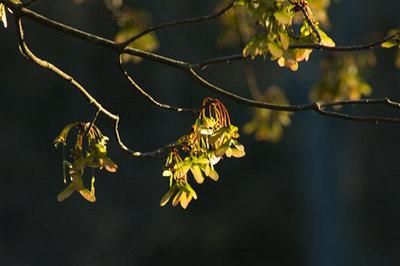 Maple blooms