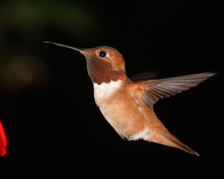 This is a new Male rufous, it is a different one from the other male pictures from earlier.