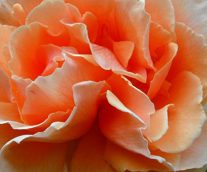 double-rose_113358703_o.jpg