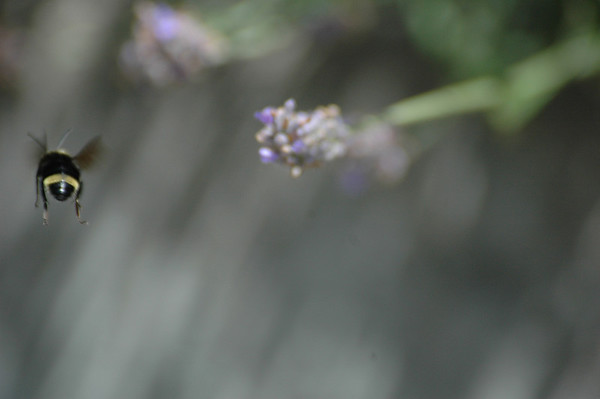 Bees like lavender