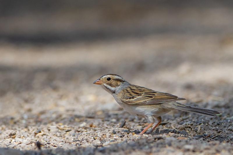 Clay-colored Sparrow - Sierra Vista, AZ, USA