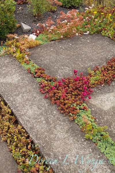 Sedum in sidewalk cracks_2379bk.jpg