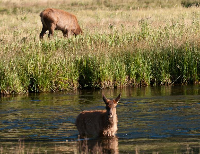 Elk Calf Wading