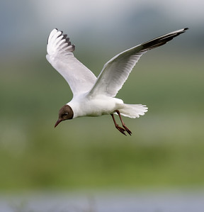 Black-headed Gull / Kokmeeuw / Chroicocephalus ridibundus