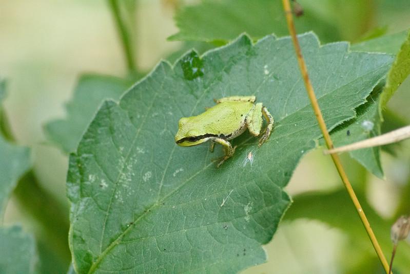 20110903_Frogs0025.jpg