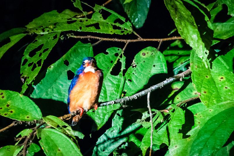 BIRDS - blue earred kingfisher-43.jpg