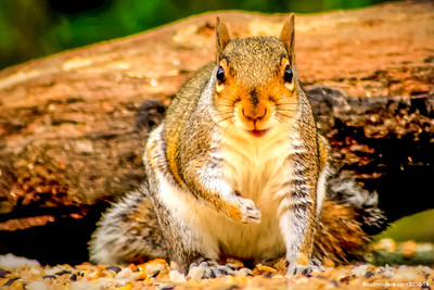 Greeting Cards - Squirrels