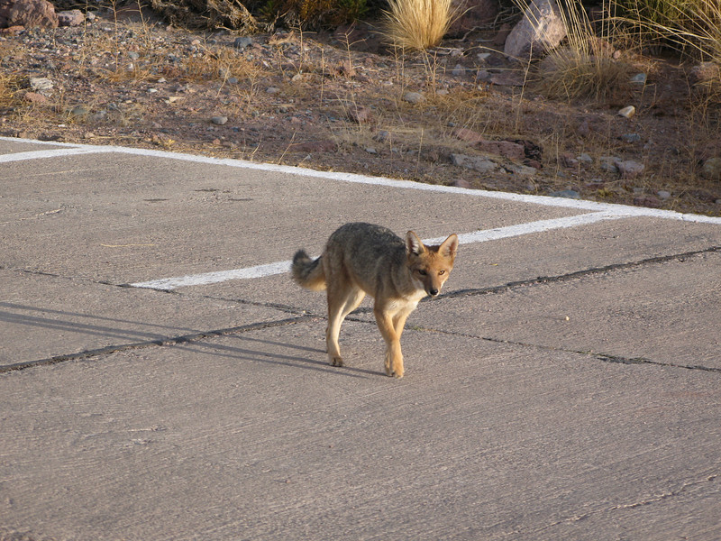 One of the foxes around the observatory