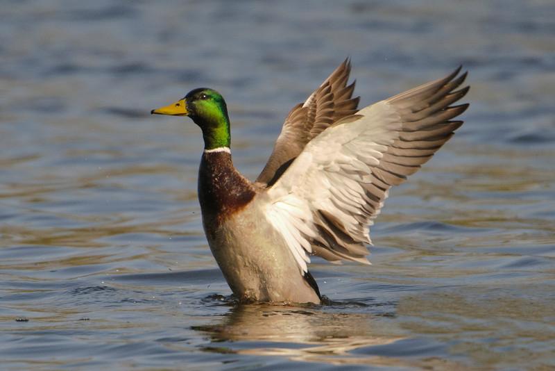 Mallard - male - Como Lake - St Paul, MN - 02