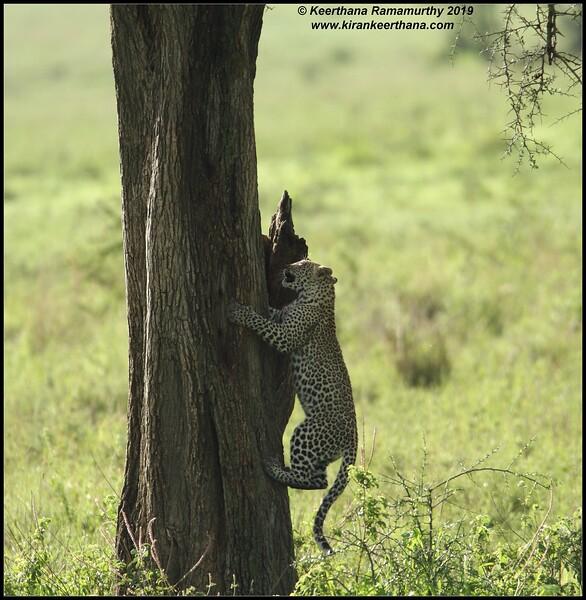 Leopard cub climbing up the tree, Serengeti National Park, Tanzania, November 2019
